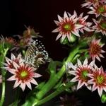 Flores De Cacto