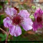 Flores Da Roseira Selvagem