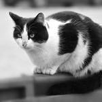 Um Gato Preto E Branco A P&b
