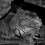 Iguana Alentejana