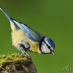 Chapim Azul (Parus Caeruleus)