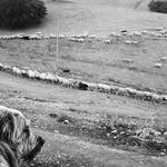 o cão pastor