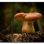 Cogumelo solitário