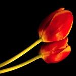 Tulipa e seu reflexo.