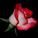 Rose!!!!!!
