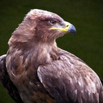 Águia-das-estepes
