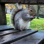 Esquilo em St. James Park