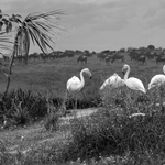 Flamingos a P&B