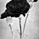 BaD Roses