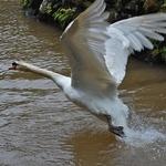 O voo do cisne