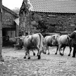 A saida do gado