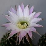 Flores de cactos