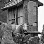 A vaca e o canastro