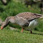 Duck_______________________