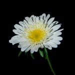 Simples flor...