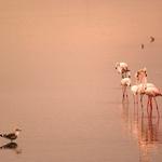 Flamingos no Sado
