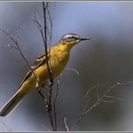 Alvéola-amarela (Motacilla flava)