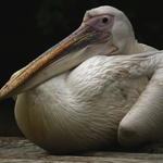 Pelicano.