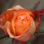 Rosa Enjeitada