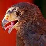 The Eagle___