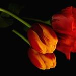 Tulipa e companhia em reflexo.