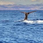 O mergulho do cachalote