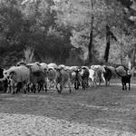 Recolha do gado