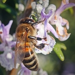 """"""" Uma pequena abelha"""""""