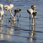 Flamingos juvenis_