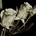 São rosas simplesmente ___
