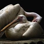 Pelicanos_