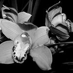 As orquídeas ___