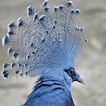 Pombo Coroado