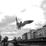 Pomba esfomeada em Paris
