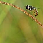 Bee___
