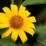bunga kuning