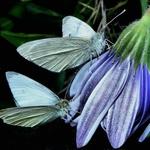 Um lindo par de borboletas