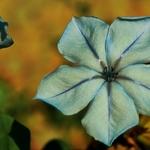 Tiny blue