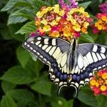 Uma bela borboleta