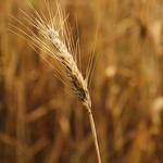 Flor de trigo