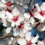 Flor da Amendoeira