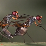 Sepsidae in Love