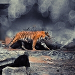 The Tiger and Bokeh