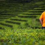 Campos de Chá