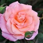 Rosa de Outono