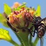 Bunda de mosca