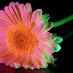 Gerbera_-pintada com luz-