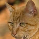 Gold cat