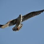 Se uma gaivota viesse
