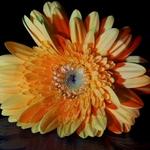 Gerbera_-pintada com luz